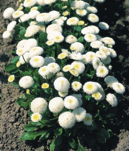 Bellis Tasso White